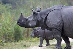 Indisch Rinoceros en Kalf Royalty-vrije Stock Afbeelding