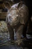 Indisch rinoceroskalf enkel weinig dagen oud in gevangenschap royalty-vrije stock foto's