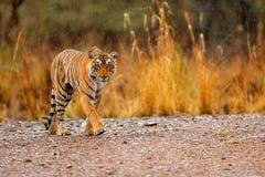 Indisch tijgerwijfje met eerste regen, wild dier in de aardhabitat, Ranthambore, India Grote kat, bedreigd dier Eind van droog stock foto