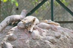 Indisch Wolf Sadly Looking terwijl het rusten op Hoop royalty-vrije stock afbeeldingen