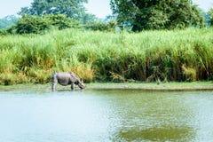 Indische één-Gehoornde rinocerosrinoceros in het nationale park van Kaziranga, India Jeugd grotere één-gehoornde unicornis van de stock fotografie