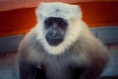 Indische aap Royalty-vrije Stock Afbeeldingen