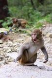Indische aap. Agra Royalty-vrije Stock Foto's