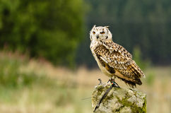 Indische Adler-Eule auf Felsen Lizenzfreies Stockbild
