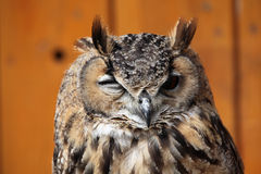 Indische Adler-Eule (Bubo bengalensis) Lizenzfreie Stockfotos