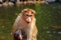 Indische Affefamilie Stockfotografie