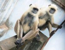 Indische Affen, die auf einer Leiste sitzen Lizenzfreies Stockbild