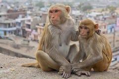 Indische Affen säubern sich, die Stadt von Jaipur im Hintergrund lizenzfreies stockfoto