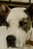 Indische Alangu-Mastiff Stock Afbeelding