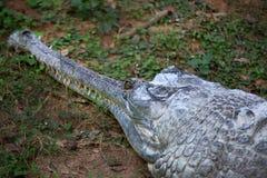 Indische alligator Royalty-vrije Stock Fotografie
