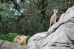 Indische Antilope Stockbilder