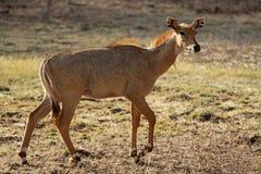 Indische Antilope Lizenzfreies Stockbild