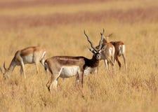 Free Indische Antilope, Blackbuck, Antilope Cervicapra Stock Photography - 205098082