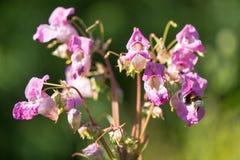 Indische balsem (Impatiens-glandulifera) bloemen met bij royalty-vrije stock foto