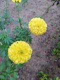 Indische Beroemde bloemen stock foto