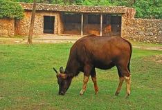 Indische Bizon Stock Afbeeldingen