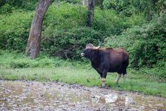 Indische Bizon in bos royalty-vrije stock foto's