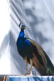 Indische Blauwe Pauw (Pavo Cristatus) Stock Foto