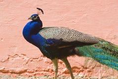Indische Blauwe Pauw (Pavo Cristatus) Royalty-vrije Stock Foto