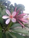 Indische bloem royalty-vrije stock foto