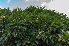 Indische boom dichte mening die ontzagwekkend met bloemen kijken royalty-vrije stock foto