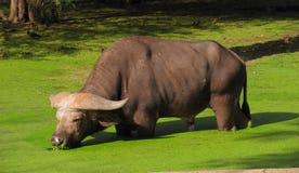 Indische Buffels Royalty-vrije Stock Foto's