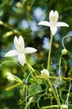 Indische cork bloem Royalty-vrije Stock Afbeeldingen