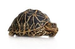 Indische die Hauptrolle gespielte Schildkröte - Geochelone elegans Stockfoto