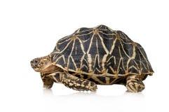 Indische die Hauptrolle gespielte Schildkröte - Geochelone elegans Lizenzfreie Stockbilder