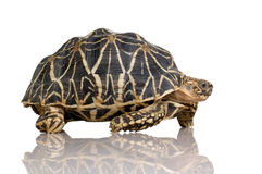 Indische die Hauptrolle gespielte Schildkröte - Geochelone elegans Lizenzfreie Stockfotos