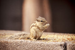 Indische eekhoorn - Delhi Royalty-vrije Stock Afbeeldingen