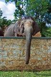 Indische elefant in het kamp Royalty-vrije Stock Afbeeldingen