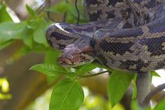 Indische Felsen-Pythonschlange auf Baum lizenzfreie stockfotos