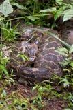 Indische Felsen-Pythonschlange mit Opfer in seinem Magen Lizenzfreies Stockfoto
