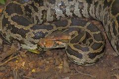 Indische Felsen-Pythonschlange, Pythonschlange molurus lizenzfreie stockfotografie