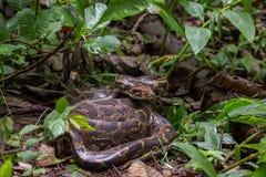 Indische Felsen-Pythonschlange umwickelt in Waldboden Lizenzfreie Stockfotografie