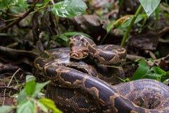 Indische Felsen-Pythonschlangennahaufnahme Lizenzfreies Stockfoto