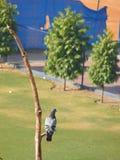 Indische Felsen-Taube oder Taube, die auf einer Niederlassung eines Baums sitzen Stockbilder