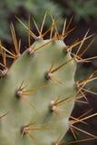 Indische fig.vijgencactus Royalty-vrije Stock Foto's