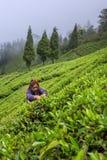Indische Frau hebt die frischen Teeblätter von der Teeplantage in Sikkim-Region, Indien auf Stockfoto