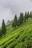 Indische Frau hebt die frischen Teeblätter von der Teeplantage in Sikkim-Region, Indien auf Lizenzfreie Stockfotografie
