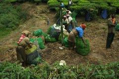 Indische Frauen bei der Arbeit über eine Teeplantage Stockbild