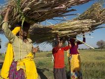 Indische Frauen, die Schilfe auf ihren Köpfen tragen Stockbild