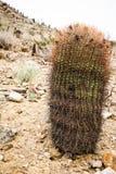 Indische Gaden-cactus Royalty-vrije Stock Afbeeldingen
