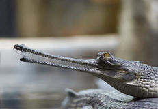 Indische gavial Royalty-vrije Stock Foto's