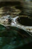 Indische gavials Royalty-vrije Stock Afbeeldingen