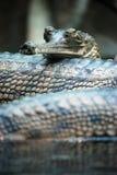 Indische gavials Lizenzfreie Stockfotos