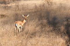 Indische gazelle Royalty-vrije Stock Afbeeldingen