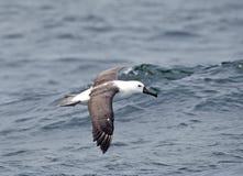 Indische Geelsnavelalbatros, indier guling-nosed albatrossen, Tha arkivfoton