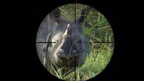 Indische Gehoornde Rinoceros die in het Werkingsgebied van het Kanongeweer wordt gezien Het wild de Jacht , En Bedreigd Bedreigd, stock videobeelden